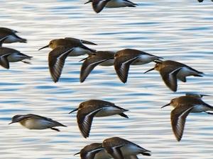 Wings Over Semiahmoo BayPhoto by John Gargett, 2012