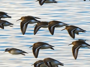 Wings Over Semiahmoo Bay Photo by John Gargett, 2012